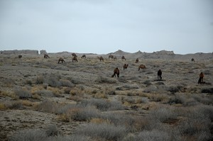 A herd of camels in Merv