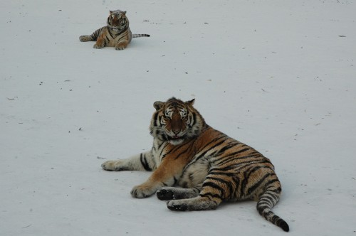 Are you afraid of the cold? Siberian Tigers in Harbin