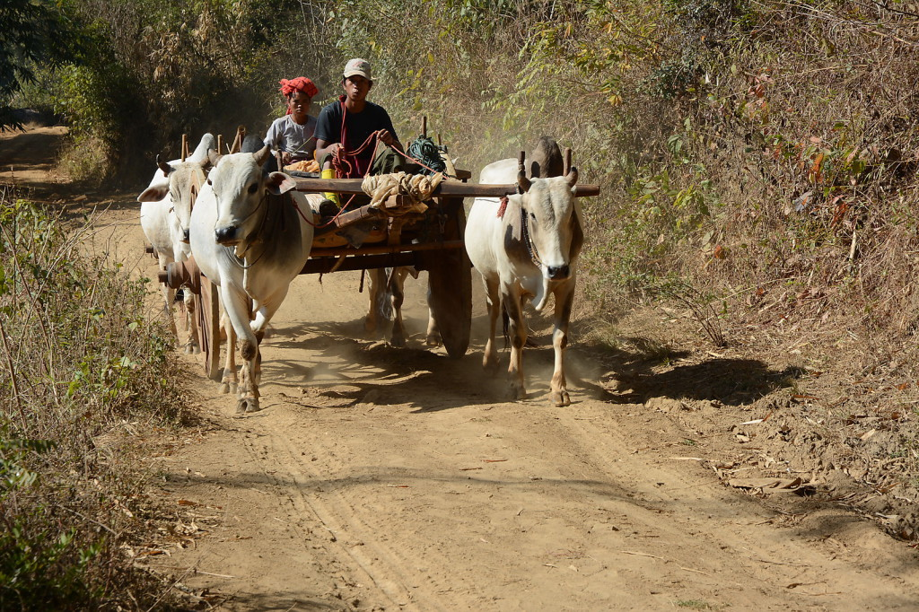 Another common mean of transport: ox cart