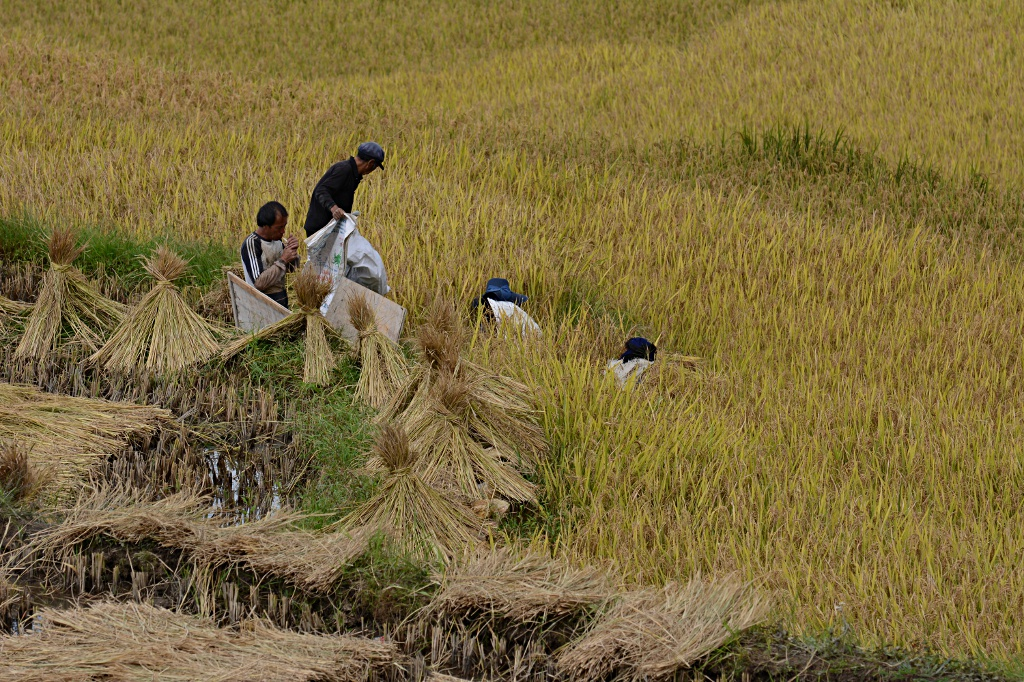 Time for harvest in Yuanyang for the second batch of rice