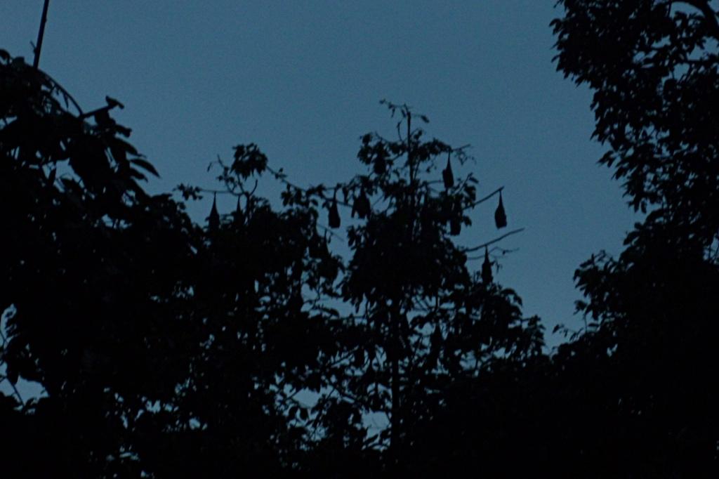Fruit bat trees near Mahaput temple in Soc Trang