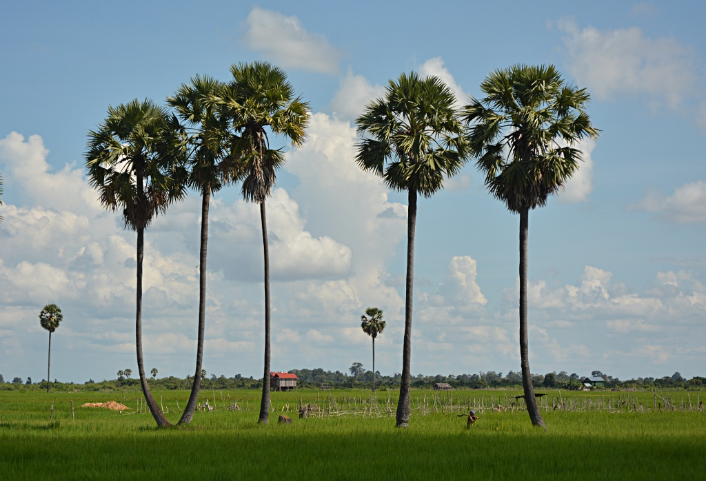 Palm trees and rice fields, a common sight all across Cambodia