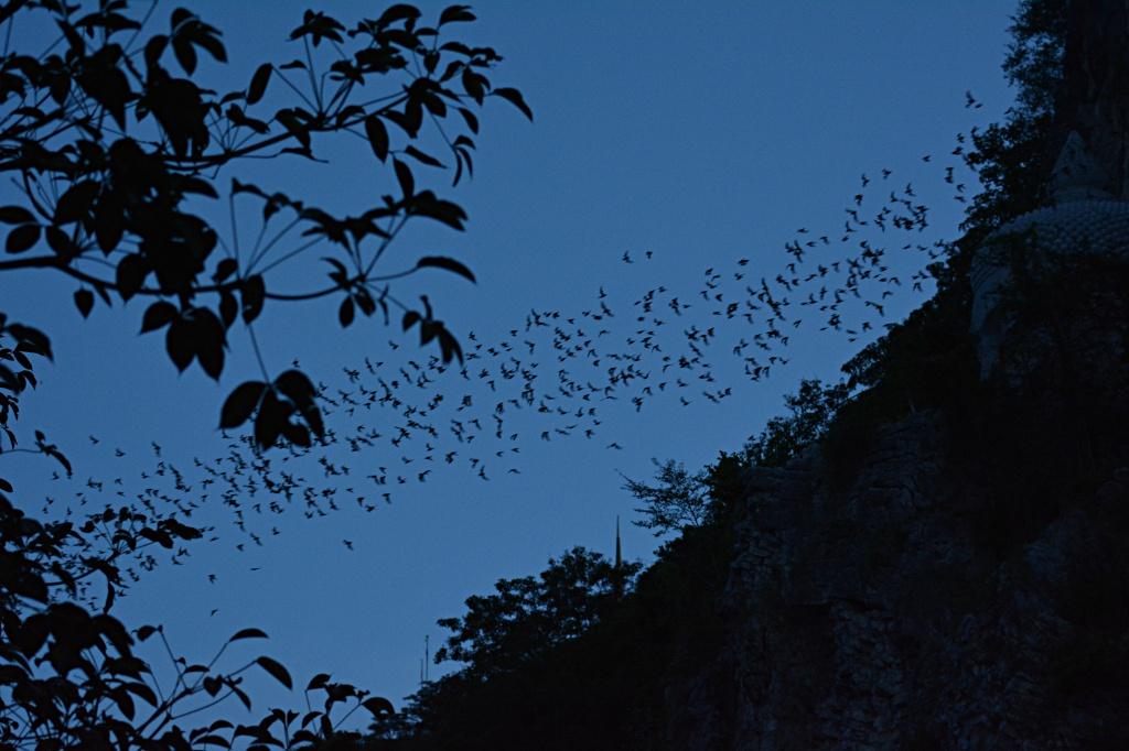 Bat Man's dream: around 3 million bats setting off for food