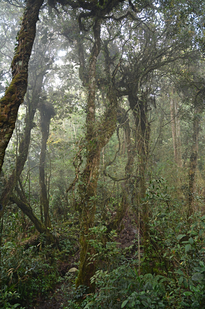 Mossy forest on the ascent to Gunung Brinchang