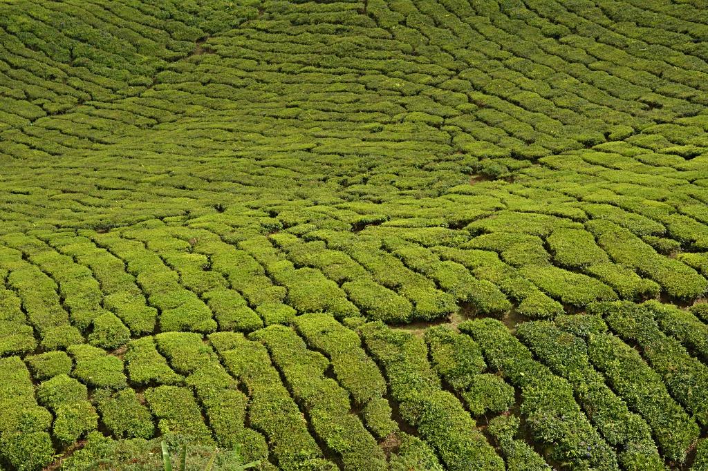 Tea carpet