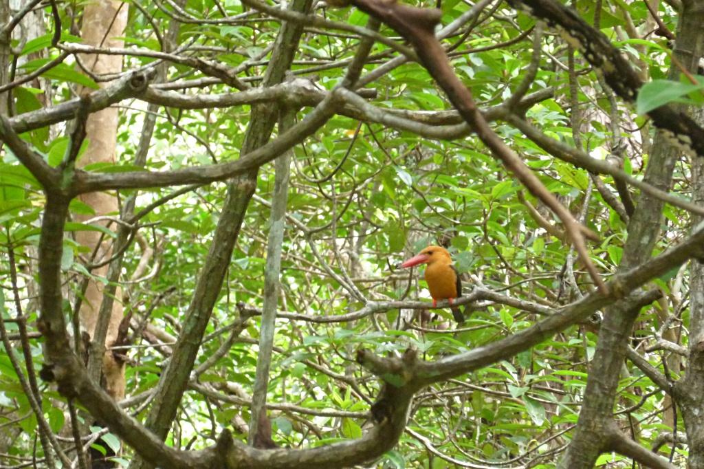 Wildlife in the mangrove forest near Krabi