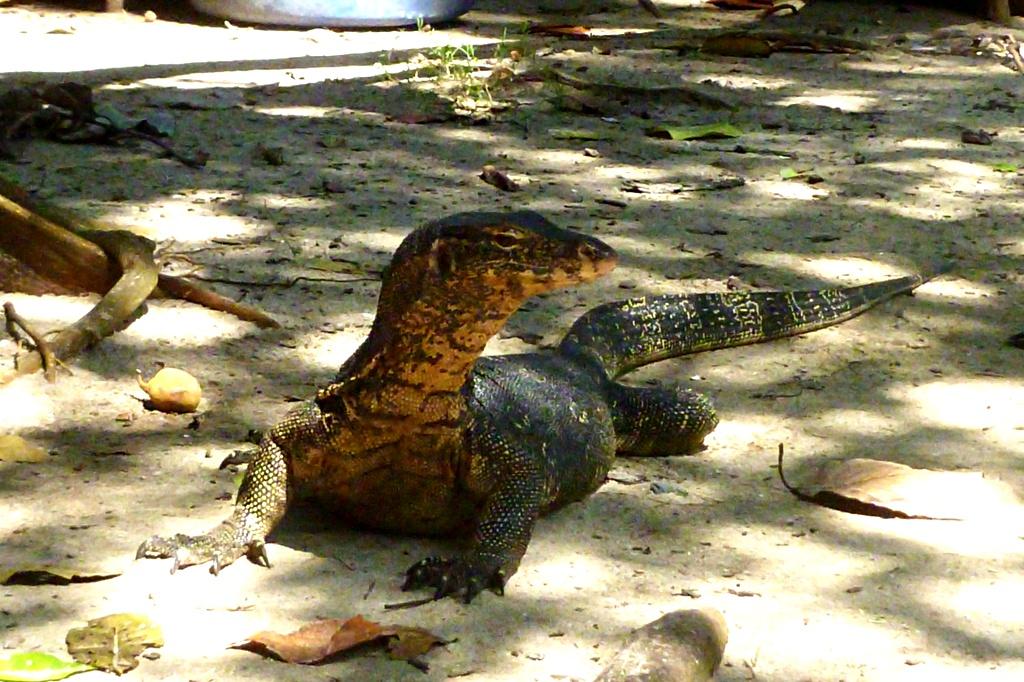I am not a crocodile! Monitor lizard on Ko Rok