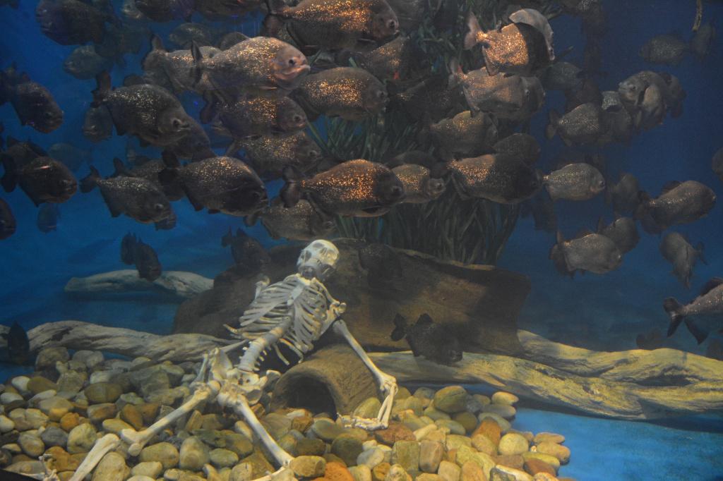 Better be careful when feeding the Piranhas at the aquarium...