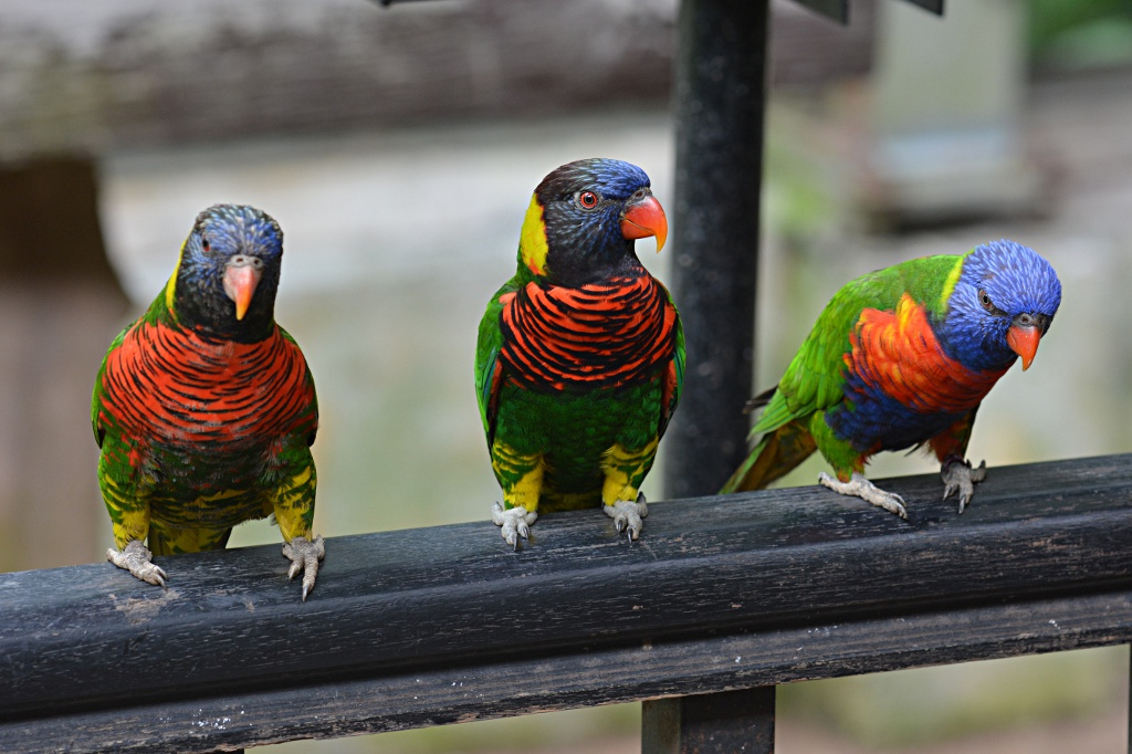 Colorful parrots getting ready to grab some food from visitors